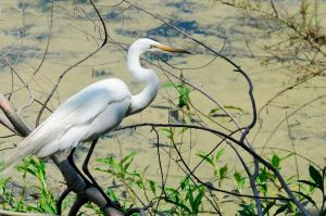 "Leaning forward in its ""hunting pose,"" this Egret waits patiently for its prey to happen by."