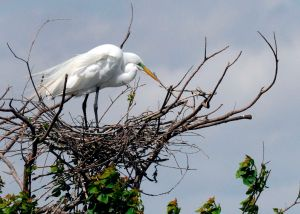 Male Egret in his nesting site at the top of a tree