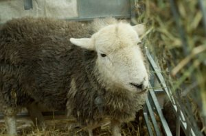 The Herdwick sheep at the Westmorland County Agricultural Society stand