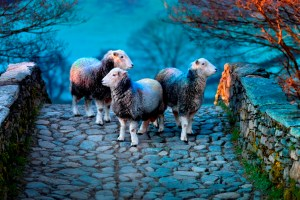 A photograph from Ian Lawson's Herdwick: A Portrait of Lakeland exhibition © Ian Lawson 2014