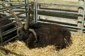The Hebridean Ram from Windy Hall