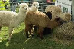 Alpacas at Damson Day 2015