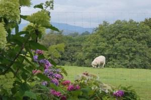 Sheep in the fields surrounding Holehird