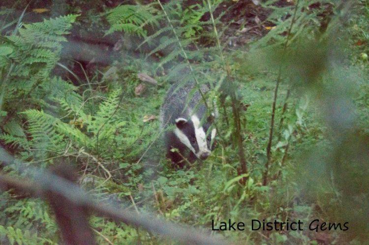 Badger amongst ferns