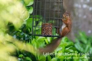 Red squirrel on feeder, Windermere