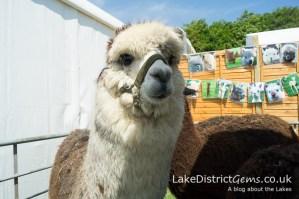 WhyNot Alpacas, Holker Garden Festival 2016