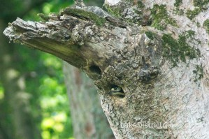 Baby woodpecker looking out of tree