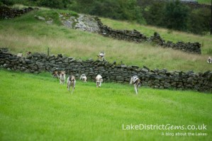 Hounds approaching the finishing line at the Lake District Sheepdog Trials