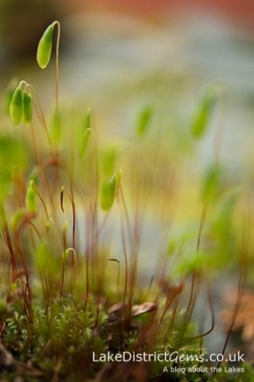 Moss resembling lamp-posts