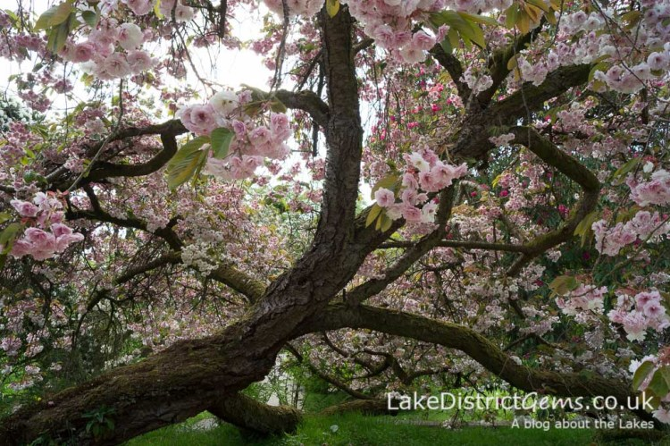 Blossom on a tree at Holker Hall