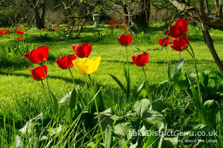 Tulips in the orchard at Levens Hall
