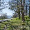 Daffodils around Ullswater