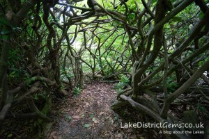 The Rhododendron Tunnel at Mirehouse