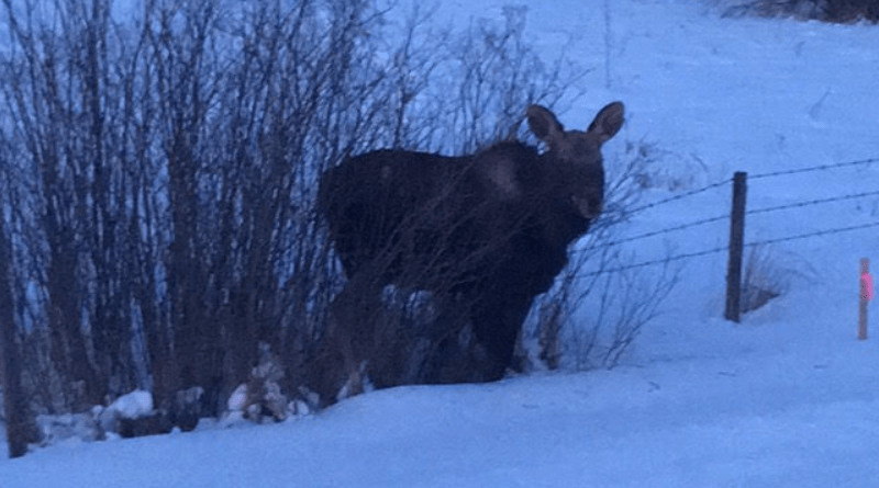 Cold Lake RCMP help Moose stuck in Barbed Wire Fence