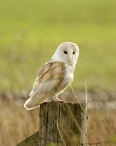 barn-owl-phil-haynes
