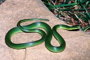 green_snake_101557_7