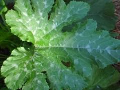 Zucchini Leaf