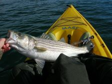striped bass lake powell
