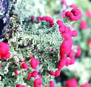 These lichens are sometimes called British soldiers, because they resemble the red uniforms worn by soldiers during the Revolutionary War. (Courtesy of Nicole Pinson)