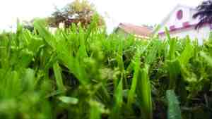 You can have a lush like lawn like this, if you give it the proper care. (Courtesy of Whitney C. Elmore)
