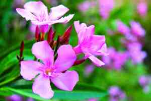 Some common landscape plants, such as oleander, are toxic to cats and dogs.