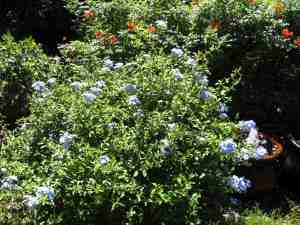 Dogs are reluctant to push through dense plantings such as plumbago.