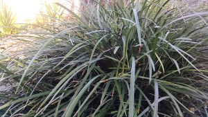 Liriope, also known as monkey grass, is a good ground cover for areas with partial shade. (Courtesy of Whitney C. Elmore)
