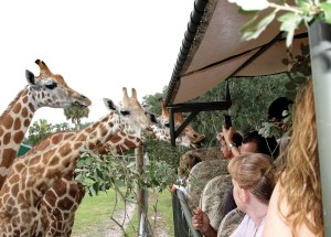 Giraffe Ranch, in Dade City, gives visitors a chance to witness the lives of giraffes, living under huge live oaks and in open grasslands. (Courtesy of Pasco County)