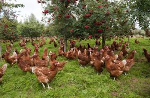 free range hens in autumn