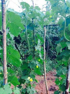 Ridge gourd looking healthy