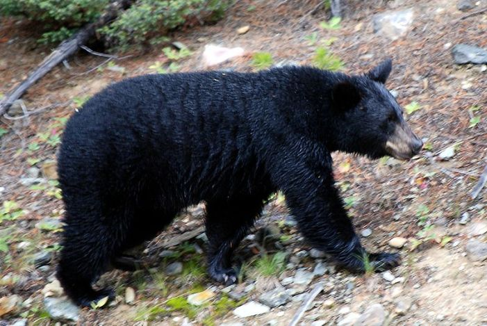 Nevada Commision Approves First Bear Hunting Season 8-0
