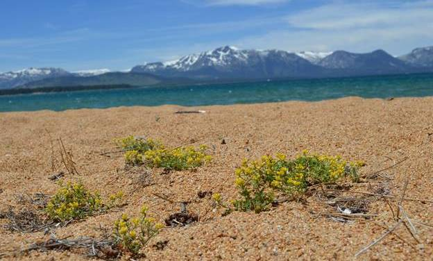 Celebrating Native Species Festival with Tahoe Yellow Cress planting at Baldwin Beach