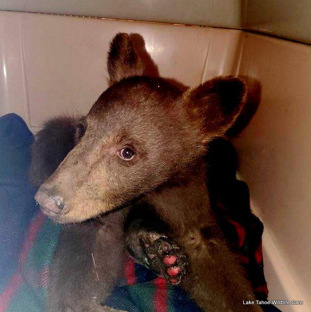 Lake Tahoe Wildlife Care Rescues Black Bear Cub from The Tamarack Fire