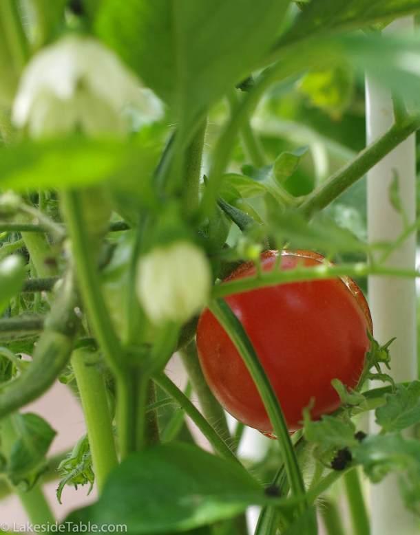 Fresh Tomato on Vine Tomato Cheddar Soup Recipe