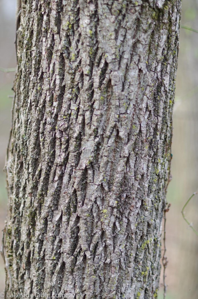 Close up of Ash Tree trunk