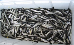 Large cooler of Lake Superior smelt