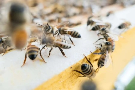 Bees_007
