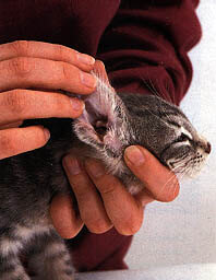 Как чистить уши кошке? Чистим уши кошке правильно. Как почистить уши коту перекисью