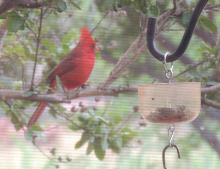 sir cardinal