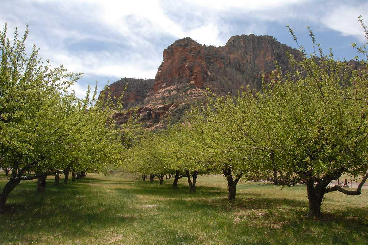 Tree pioneers of the Verde Valley