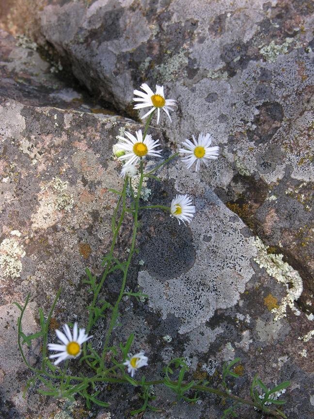 field daisies against lichen