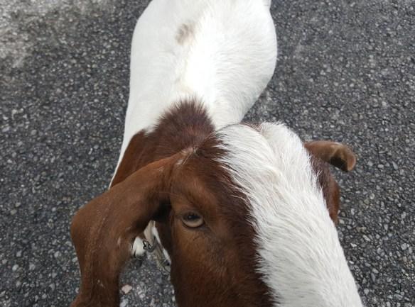 evil eye goat