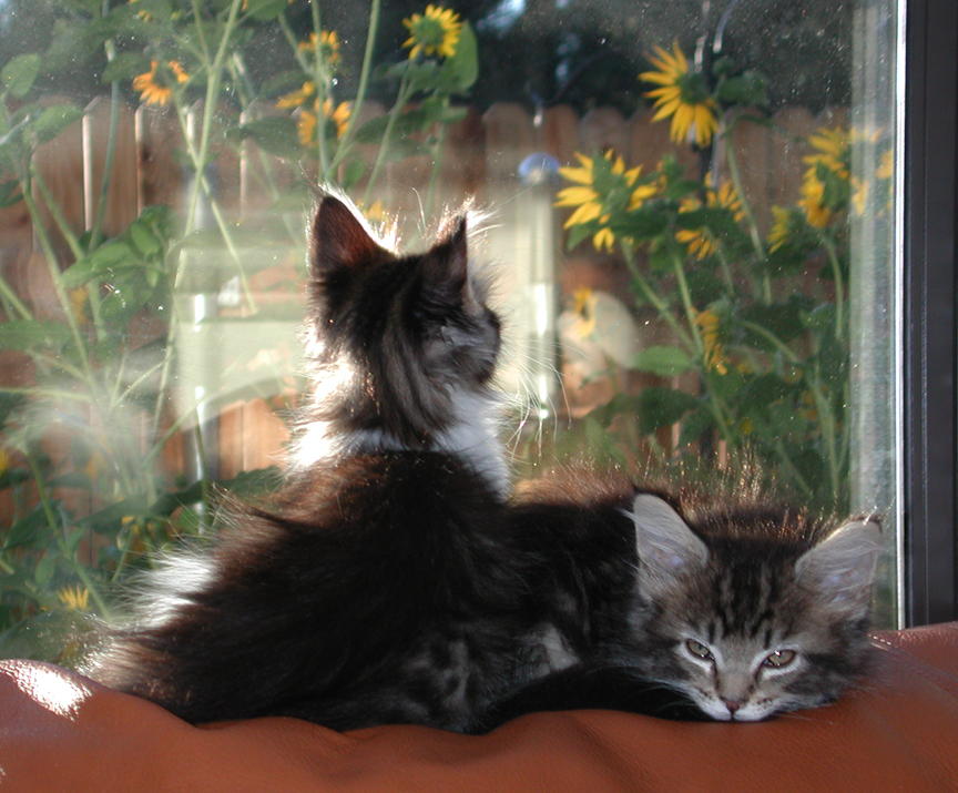 The kittens and the sunflowers