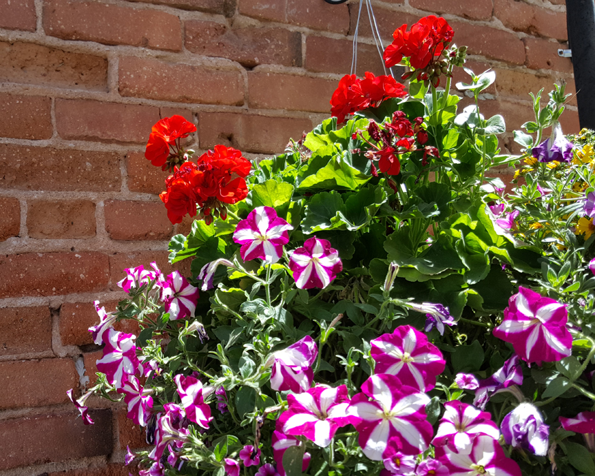 Picture of red geraniums and magenta petunias
