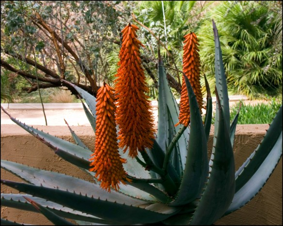 Picture of blue and red agave