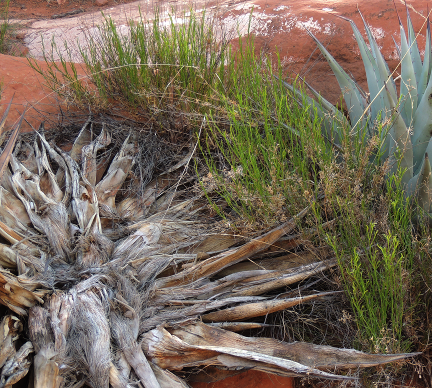 Picture of Agave cactus