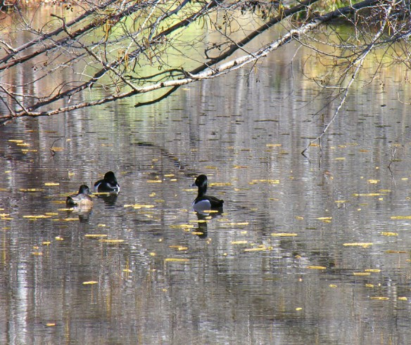 picture of 3 ducks on a pond