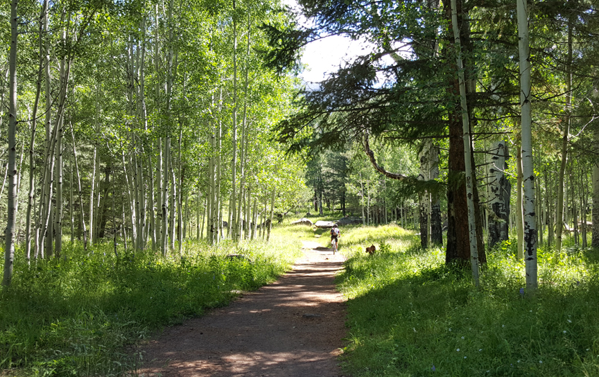 aspen grove in summer