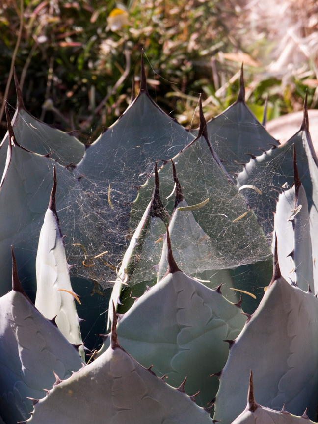 Spider web in agave plant