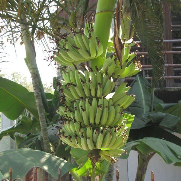 тайские бананы дамский пальчик